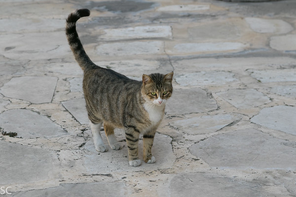 Working Cats of Israel