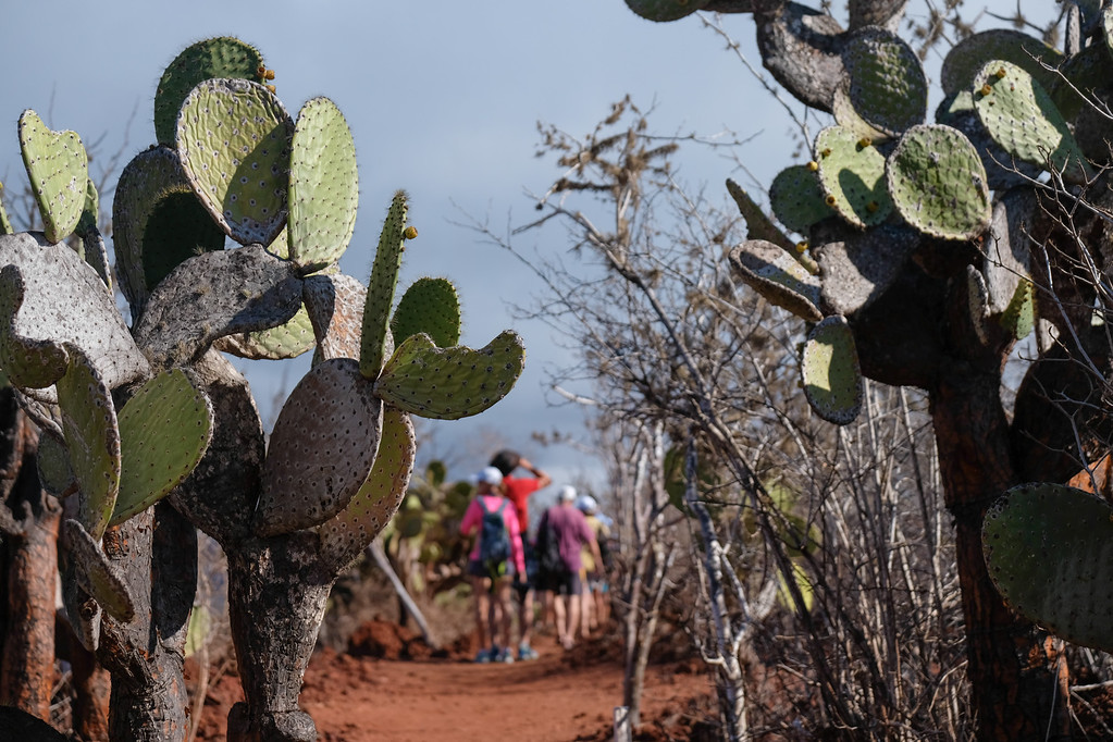 Cactus lining pathway on Rábida Island