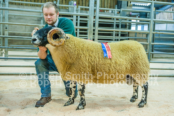 Blackface Rams Show and Sale at Hexham Mart - October 12th 2015