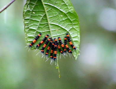 Caterpillars, Unidentified