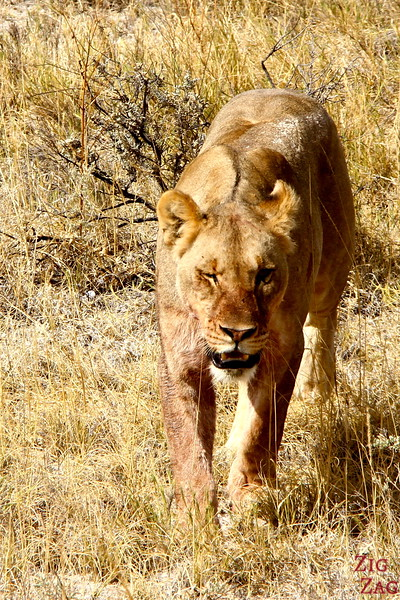 Getting close to lions, Etosha Namibia 2