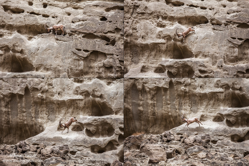 Ibex makes a leap