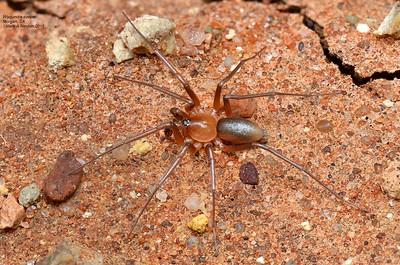 Wydundra cooper (Prodidominae)