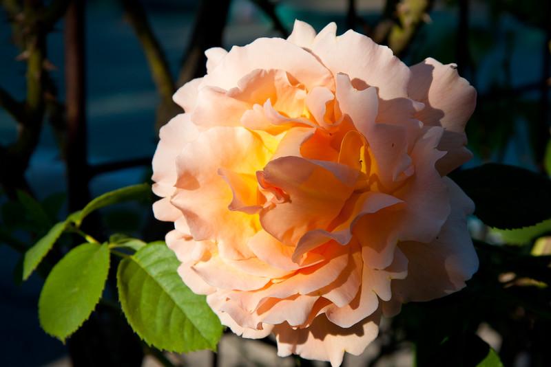 *Peach_Napa_Rose.jpg