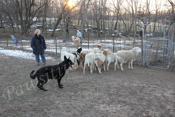 Herding Dogs-Stockdogs