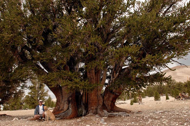Bristlecone Pines  The Patriarch 2007