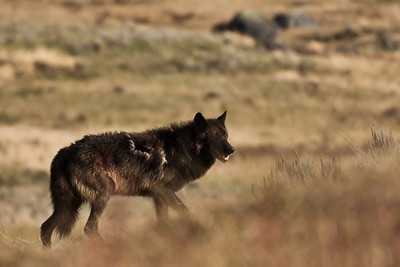 Canis lupis aka the Timber wolf, arguaebly the most controversial animal in the west. Hunted to extinction in the lower 48 states, an attempt to reestablish this magnificent creature to its former domain was started back in the 90s and has met with limited success. The same old fears and prejudices have made it hard for the wolf to attain sustainable populations throughout much of its former domain. I find it hard to understand the mentality of those who want to kill all the wolves and the brutality of the methods they employ to achieve their goals. I feel so blessed to have had the good fortune to get the opportunity to photograph this female member of the Druid pack in the Lamar Valley of Yellowstone.  It was quite a chance encounter that was so incredibly awesome that even now nearly two years later my heart races with excitement when I look at the images. She was stalking bison calves and I lucky enough to be in the right place at the right time and as we stared at each other for several adrenalin filled moments I was barely able to hold still enough to get off 3 of 4 shots before she moved on. This encounter remains to this day the highlite of my wildlife phototgraphing days and its experiences like this that keep me continually seaching for the next encounter on the wild side.