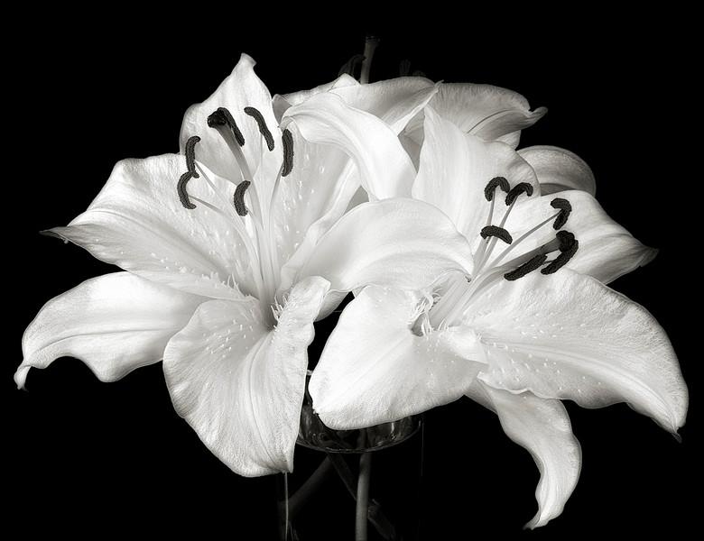 casablanca-lily-03b.jpg