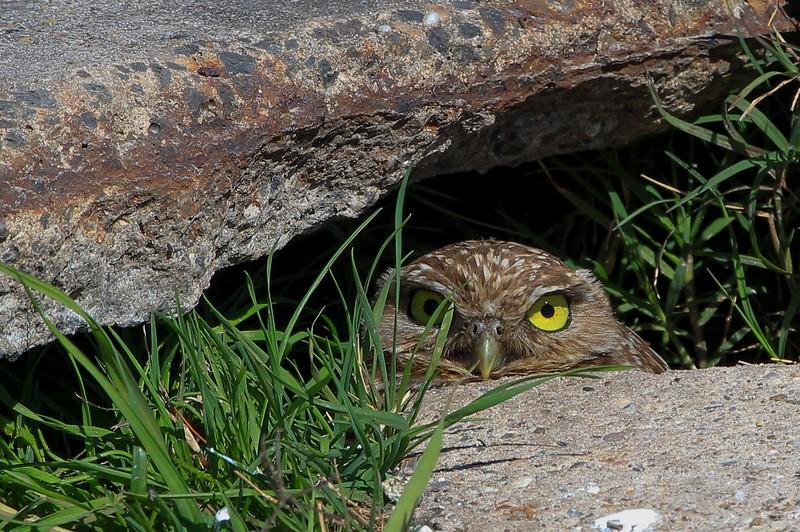 zzAnahuac,2-16-16 571A Burrowing Owl.jpg