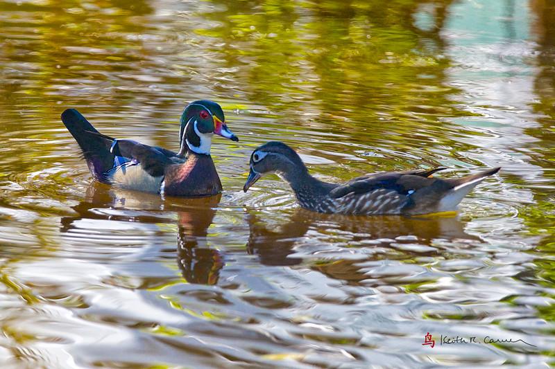 Wood ducks, drake and hen