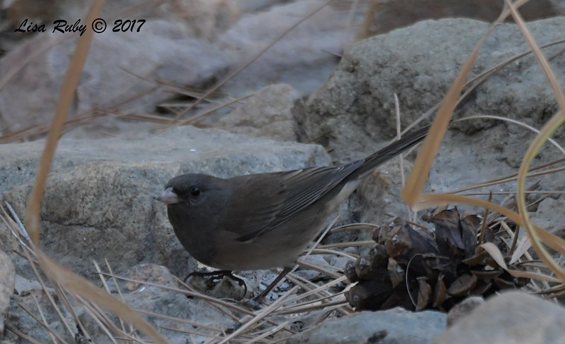 Dark-eyed Junco (Slate-colored) - 10/19/2017 - Wickwood Lane, Prescott, AZ
