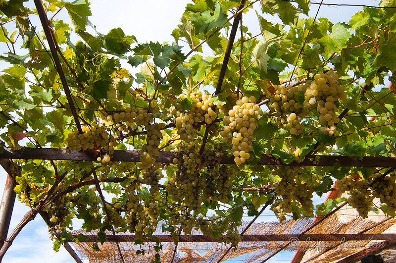 Grapes on the roof