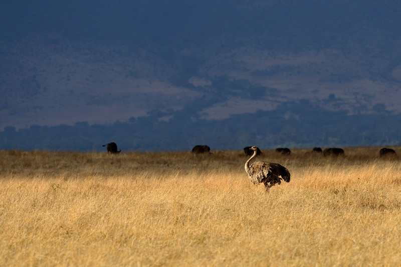 Ostrich darts across the beautiful grasslands of the Ngorongoro crater