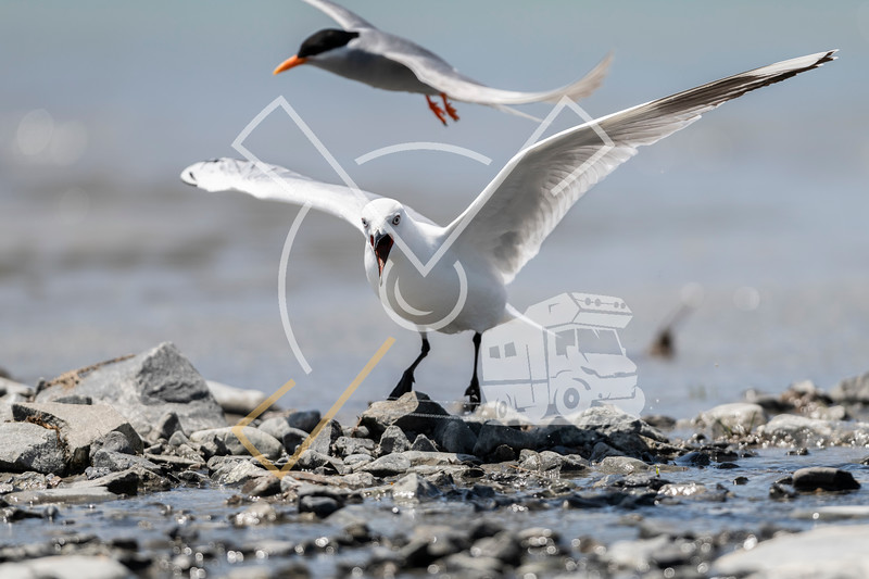 A black-fronted tern (Chlidonias albostriatus) in a food fight with a black-billed gull who's fouraging along the Rakaia fresh water River bed in the South Island for freshwater fish, arthropods and worms. It is declining and threatened by introduced mammals and birds.