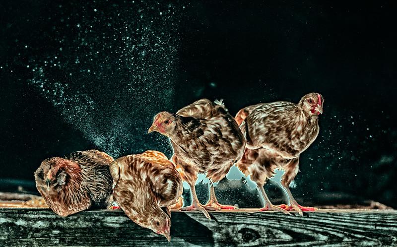 Chickens-SB2_0833-EditPPro-2.jpg