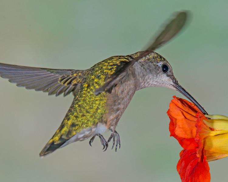 Hummingbird in a Nasturtium