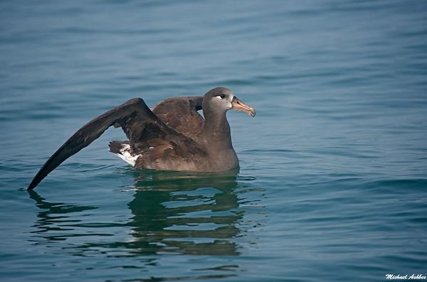 Black-footed Albatross