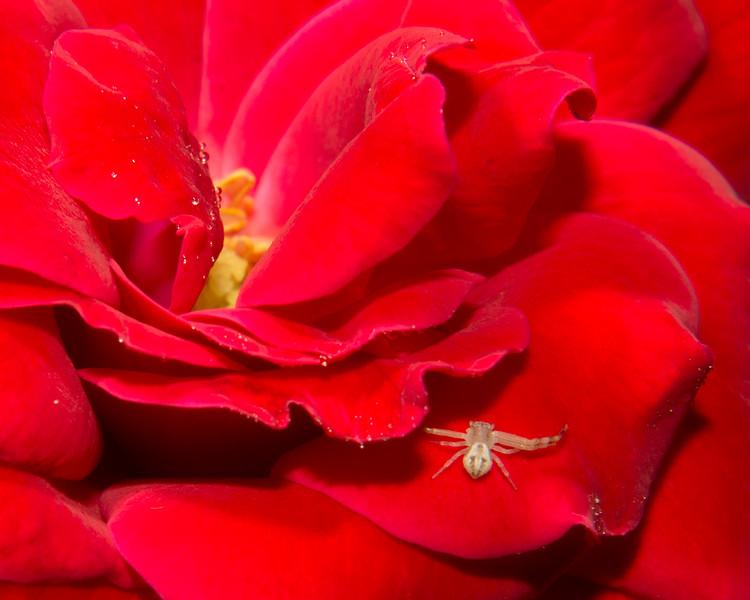Crab Spider NDX9360.jpg