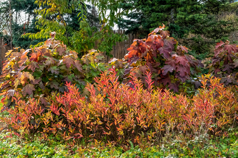 Colorful foliage on two shrubs