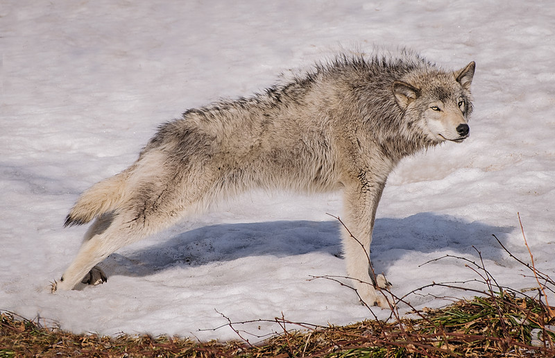 Z_2_2006_A_Eastern Timber Wolf Stretching.jpg