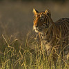 Tiger looking out from grasses