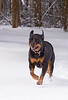 Rottweiler playing and running through the snow. Photography fine art photo prints print photos photograph photographs image images artwork.