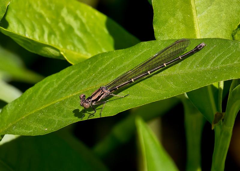 Female, brown form, Idylwild WMA