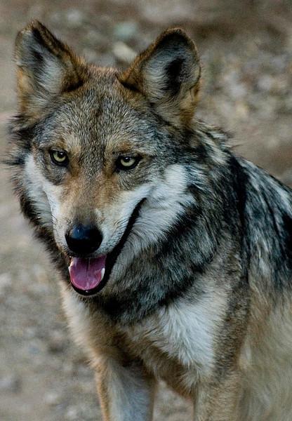 Mexican Wolf Tucson, Arizona