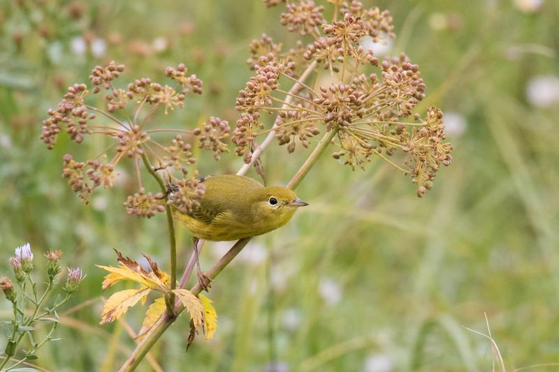 Warbler Grasslands 2019-1.jpg