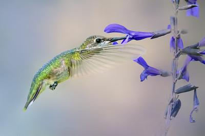 Ruby Throated Hummingbirds