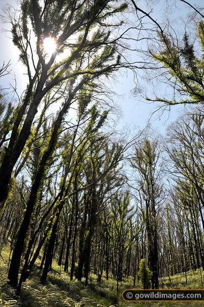 Gum trees recovering, 12 months after Black Saturday fires.