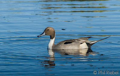 Ducks, Geese and Grebes