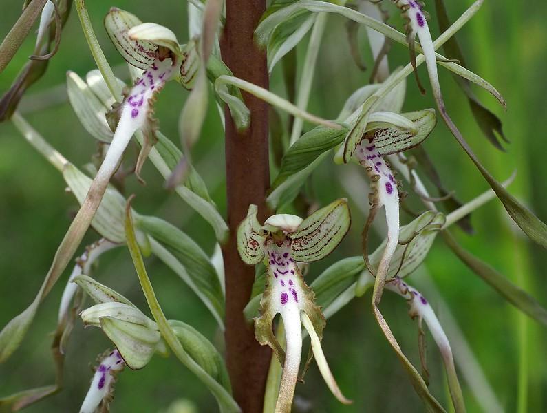 H. hircinum Lallenger Bierg Esch-sur-Alzette 17-06-19 (3).jpg