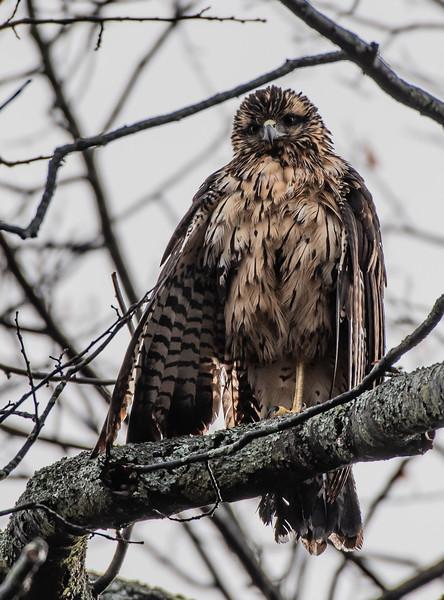 Great Black Hawk bare branches-2
