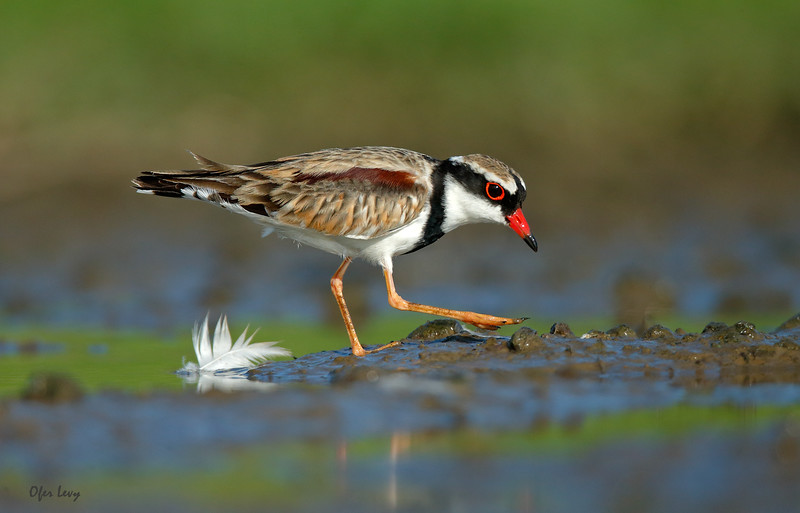 Black-fronted Dotterel 2.jpg