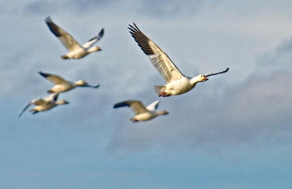 Skagit Birds