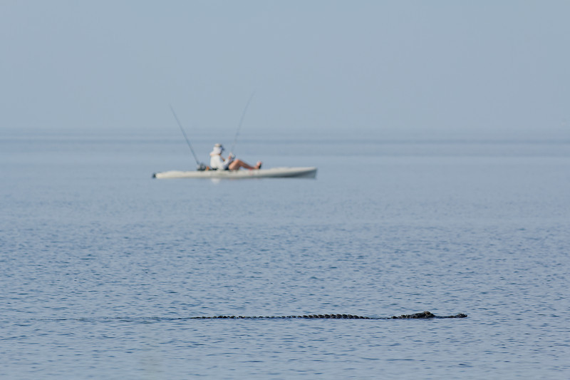 American Alligator in the Gulf - A large alligator swims near a kayak fisherman in the shallows of the Gulf