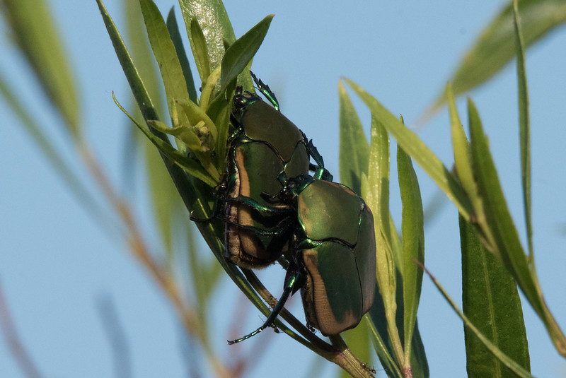 Pair of Fig Beetles 'courting' near Pond 1.
