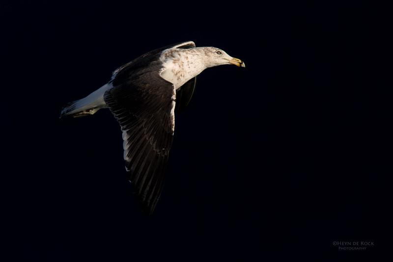 Kelp Gull, Eaglehawk Neck Pelagic, TAS, May 2016-2.jpg