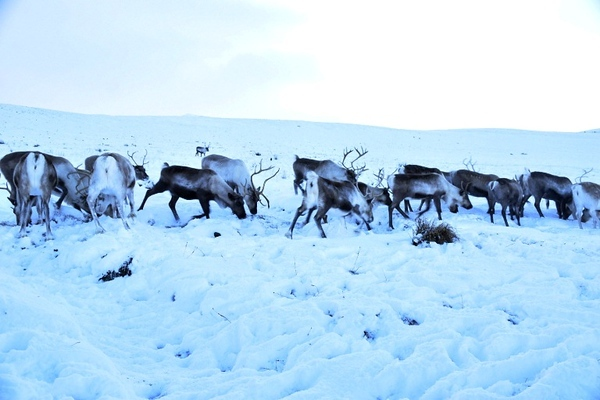 a group of reindeer in a snowy landscape