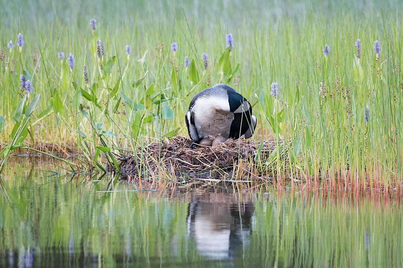 #782 Common Loon