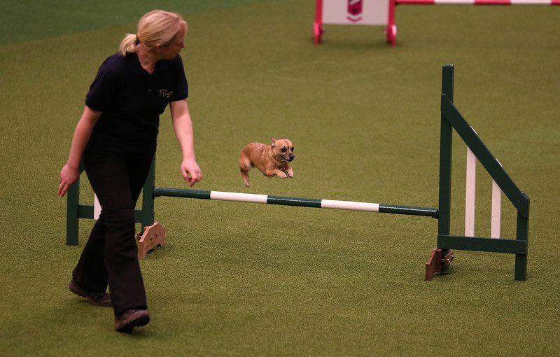 . A small dog jumps over a fence in the Rescue Dog Agility show in the main arena on the first day of Crufts dog show at the NEC on March 6, 2014 in Birmingham, England. Said to be the largest show of its kind in the world, the annual four-day event, features thousands of dogs, with competitors traveling from countries across the globe to take part. Crufts, which was first held in 1891 and sees thousands of dogs vie for the coveted title of \'Best in Show\'.  (Photo by Matt Cardy/Getty Images)