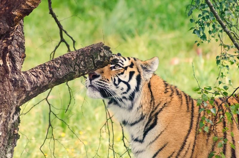 Highland Tiger