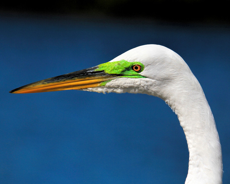 11_4_18 Great Egret with green mating coloration.jpg