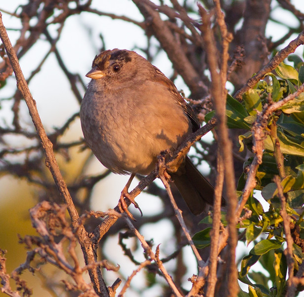 Golden-crowned Sparrow Imperial Beach 2015 01 07-2.CR2