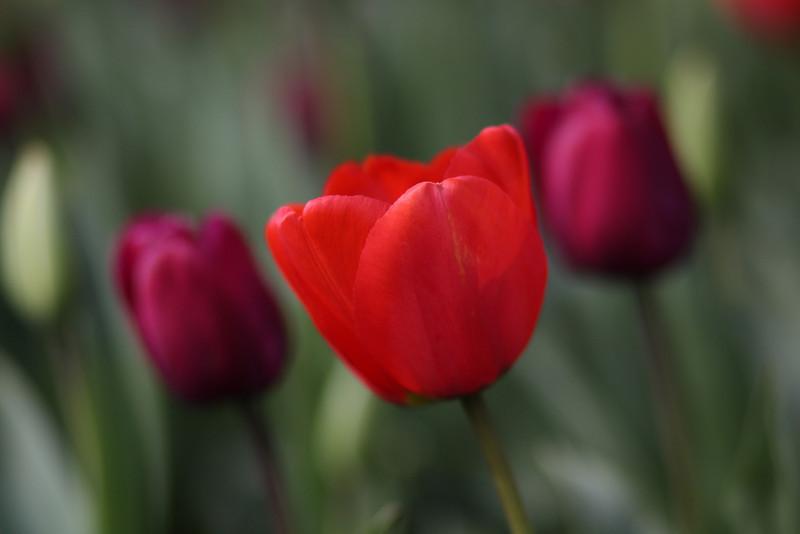 Tulips-2010 04.JPG