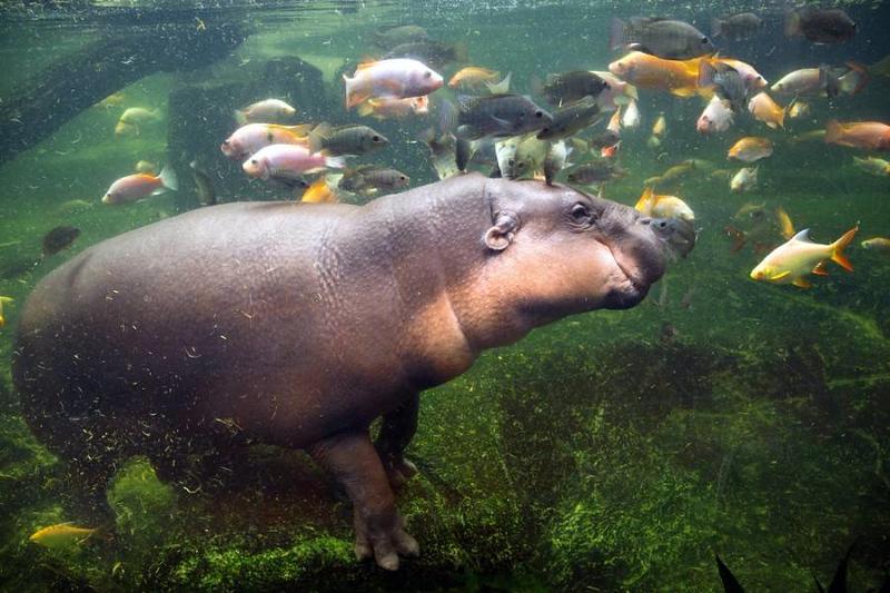 pygmy-hippo-water.jpg