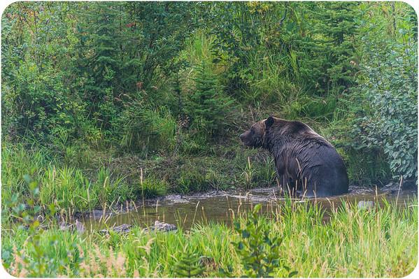 Canada Black Bear