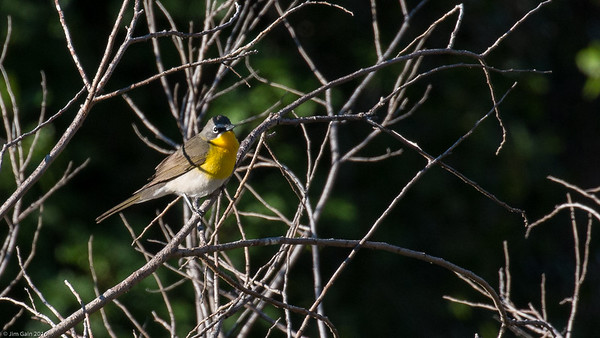 STA Birds 13 - Chat, Icterids, Warblers &  Buntings