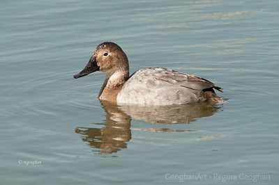 Ducks - Canvasback